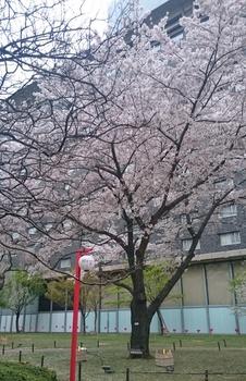 品川プリンスの桜 (2).JPG
