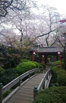 品川プリンスの桜 (3).JPG