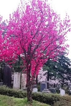 青山墓地0402 (3).JPG