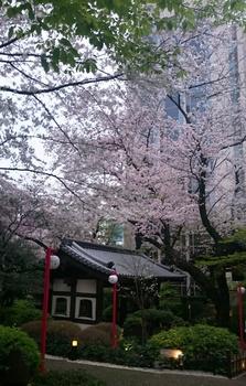 品川プリンスの桜 (1).JPG