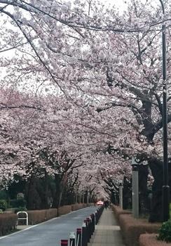 墓地の桜.JPG