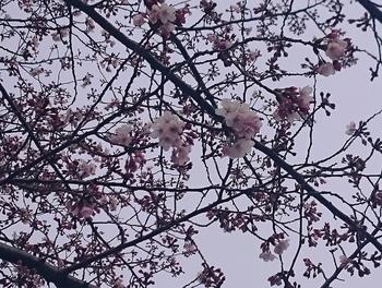 青山さくら (3).JPG